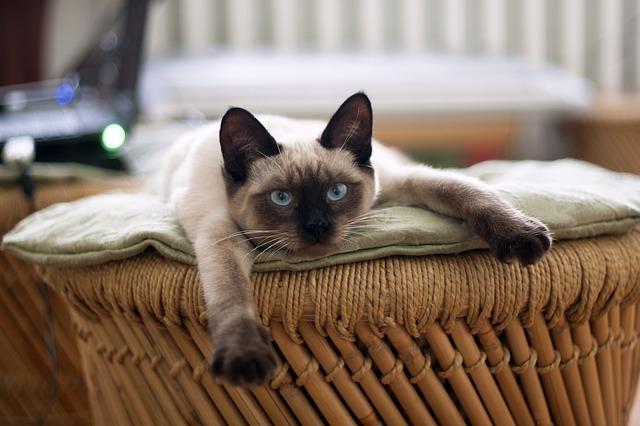 tumore mammario nella gatta